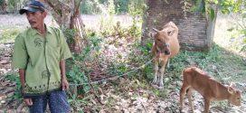 Berkat Program Ini, Peternak Sapi Berterima Kasih ke Bupati dan Wabup Sinjai